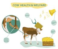 Infographic of cow welfare including usage of massage head, healthy food, classical music etc. Healthcare concept. Colored vector. Illustration isolated on vector illustration