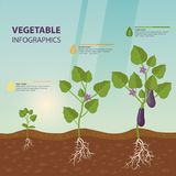 Eggplant or brinjal, aubergine infographic. Infographic with eggplant growth rates. Brinjal growing process. Aubergine with root and fetus, flowers information royalty free illustration