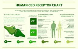 Infographic horizontal de CBD de la carta humana del receptor ilustración del vector