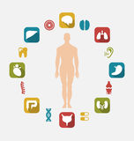 Infographic of Internal Human Organs. Illustration Infographic of Internal Human Organs, Colorful Simple Flat Icons with Long Shadows - Vector Royalty Free Stock Photography