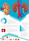 Infographic mänsklig njure Arkivbild