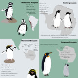 Infographic with penguins of different species. Infografhic with penguins of different species. Life of animals Stock Image