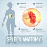 Infographic poster with spleen illustration and medical icons Stock Photography