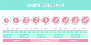 Infographic with stages of pregnancy and embryo, fetus development. Months, trimesters of pregnancy, embryo and fetus growth and weight . Vector illustration royalty free illustration
