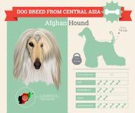 Infographics de race de chien de lévrier afghan Image libre de droits