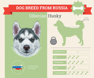 Infographics de race de Husky Dog de Sibérien Photo stock