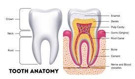 Infographics dental do vetor da anatomia do dente ilustração do vetor