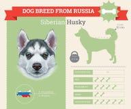 Infographics för SiberianHusky Dog avel royaltyfri illustrationer