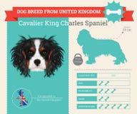 Infographics sprezzante della razza di re Charles Spaniel Dog Fotografie Stock