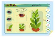 infographics wachsende Bohnen Stockbild