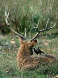 Inform. A Swamp Deer or Barasingha (Rucervus duvaucelii) and two yellow-billed oxpeckers. Kanha National Park stock image