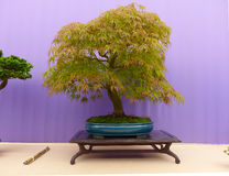 An informal upright Acer Dissectum bonsai on show in Belfast Northern Ireland. In a shallow glazed oval pot and set on a mahogany display stand Royalty Free Stock Photography