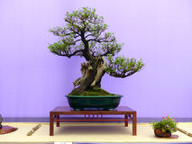 An informal upright Escallonia bonsai on a beautiful mahogany display table on show in Belfast Northern Ireland. An informal upright Escallonia bonsai on a Stock Photo
