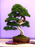 An informal upright Juniper bonsai on show in Belfast Northern Ireland. In a shallow unglazed oval pot and an a wooden slab Royalty Free Stock Photography