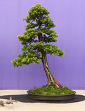 An informal upright Larch bonsai on show in Belfast Northern Ireland. In a shallow unglazed oval pot and an a slate slab Stock Image