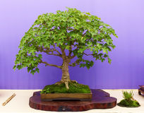 An informal upright Mountain Maple Azalea bonsai on display in Belfast Northern Ireland. An informal upright Mountain Maple bonsai in full flower on display in Stock Photography