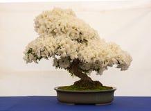 An informal upright Satsuki Azalea bonsai on display in Belfast Northern Ireland. An informal upright Satsuki Azalea bonsai in full flower on display in Belfast Royalty Free Stock Photos