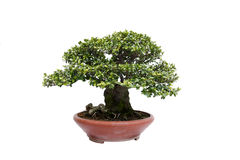 Informal upright style bonsai tree on white Royalty Free Stock Images
