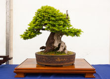 An informal upright Yew bonsai on display in Belfast Northern Ireland Royalty Free Stock Images