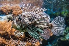 Inforni il lionfish afreican del pesce marrone e il poiseness bianco tropicale immagine stock libera da diritti