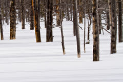 Inforni le ombre uccise della colata degli alberi sulla neve Immagine Stock Libera da Diritti