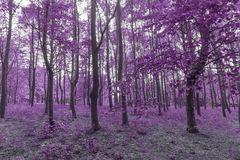 Infra red forest in purple colors. Infra red forest in purple and pink colors Stock Photos