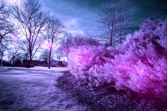 Infra-Red Photo of a bush, with bright pinks and purples. Infra-Red Photo of a bush, with bright pinks and purples and some lens flare bringing out the colour Royalty Free Stock Images