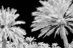 Infra red photo of date palms. And a black sky in black and white Royalty Free Stock Images