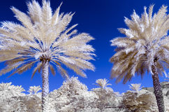 Infra red photo of date palms and a blue sky. With an airplane in the distance Stock Photos