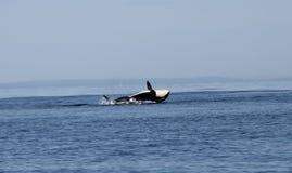 Infraction passagère de baleine d'orque de Biggs Photo stock