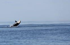 Infraction passagère de baleine d'orque de Biggs Photo libre de droits