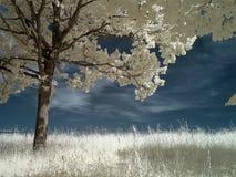 infraröd tree Royaltyfri Foto