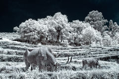 Infrared big horns cows grazing Stock Photo