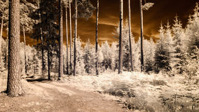 Infrared camera image. forest view. Infrared camera image. colored. forest view with old trees and dark sky Royalty Free Stock Image
