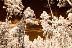 Infrared camera image. skyscape through trees and leaves Royalty Free Stock Photo