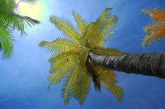 Infrared coconut tree with sky background. Coconut tree in infrared version with blue sky background Stock Images