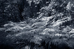 Infrared fern Royalty Free Stock Image