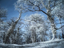 Infrared forest Royalty Free Stock Photos