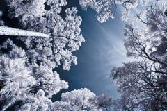 Infrared strzelający drzewa i niebo Fotografia Royalty Free