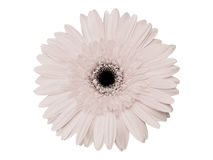 Infrared gerbera Royalty Free Stock Images