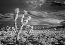 Infrared, Joshua Trees Royalty Free Stock Photography