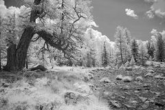 Infrared larch tree in forest meadow Royalty Free Stock Image