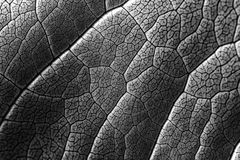 Infrared Leaf Texture With Visible Stomata Covering The Epidermis Layer. Infrared Leaf Texture With Visible Stomata Covering The Outer Epidermis Layer royalty free stock image