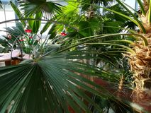 Infrared light therapy and palm trees. Infrared light therapy above the sunbeds and tropical palm trees stock photography