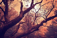 Infrared Oak Branches Under a Cloudy Sky - Vintage Royalty Free Stock Photography