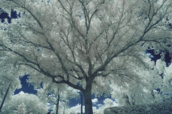 Infrared Oak Tree Brannches Royalty Free Stock Photos