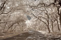Infrared Oaks - Spanish Moss. True infrared photo of oak trees (Quercus) laden with Spanish moss on Amelia Island, Florida, USA Stock Image