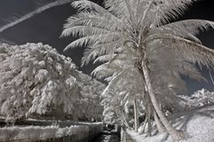Infrared Photo– Coconut Tree, Skies And Cloud Royalty Free Stock Images