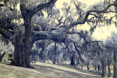 Infrared photo of live oaks and palms Stock Photography