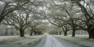 Infared avenue of oaks Royalty Free Stock Images